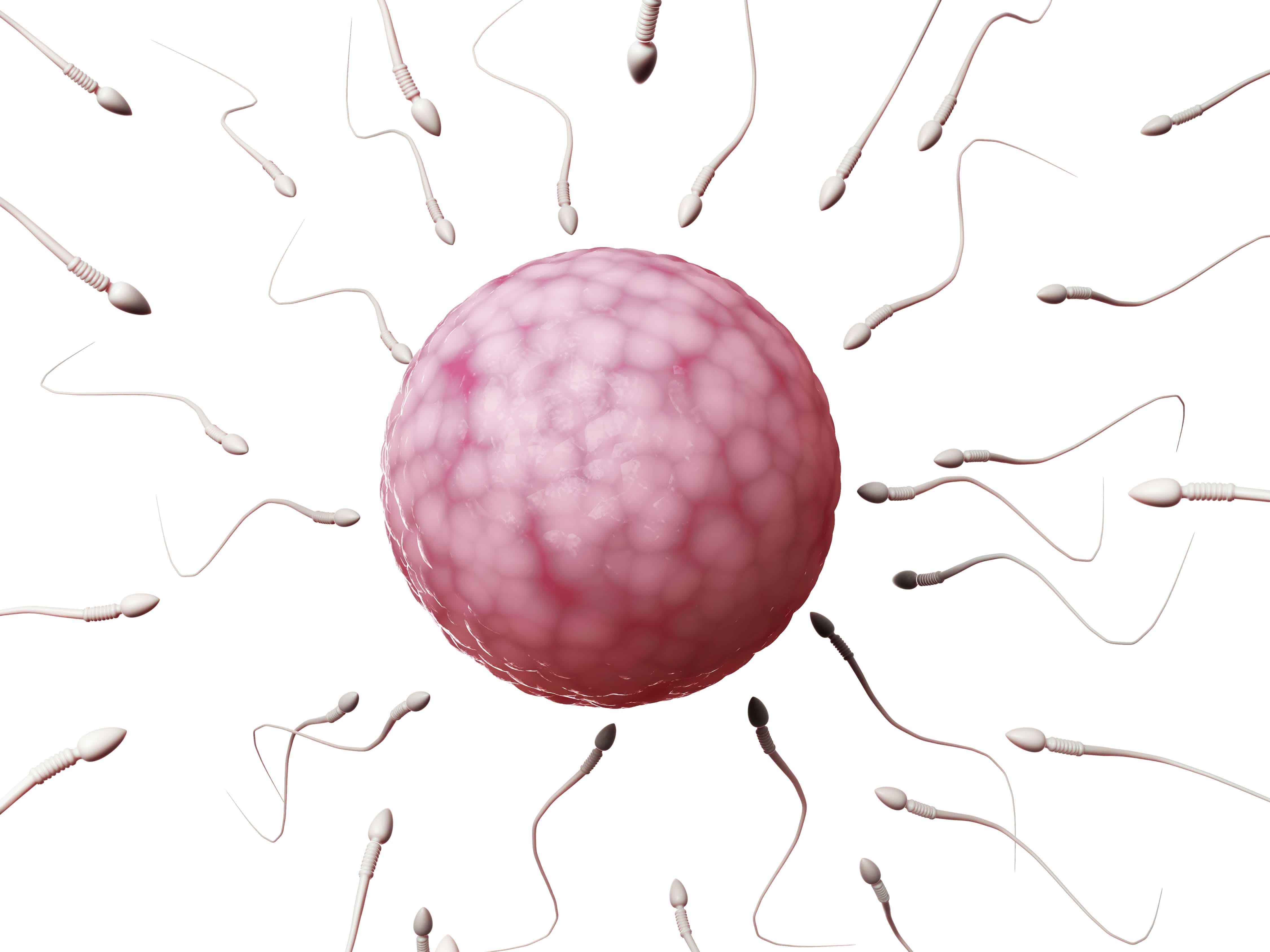 Bevruchting En Celdeling Begin Zwangerschap